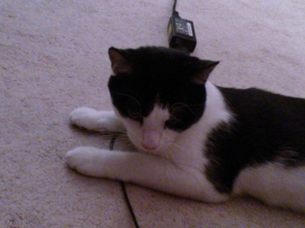 Jolee Bindo, small cat