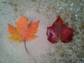 Freeman maple? (left), red maple (right)
