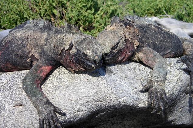 Iguana Cuddles