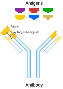 "This wikipedia schematic shows how antibodies bind to specific antigens with a ""lock and key"" model"