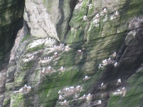 Kittiwakes and guillemots nesting