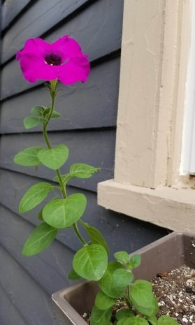 I didn't even plant this one! I had planted petunias the previous year, and this one came back up in my window box.